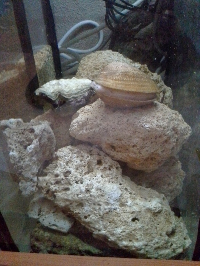 Sump with live rock, oyster and clam
